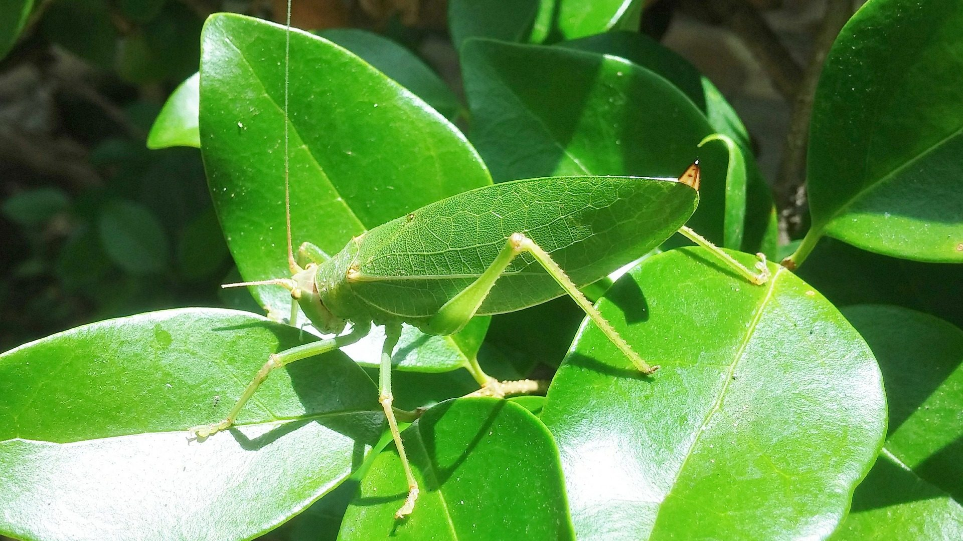 Image: leaf grasshopper insect mimicry
