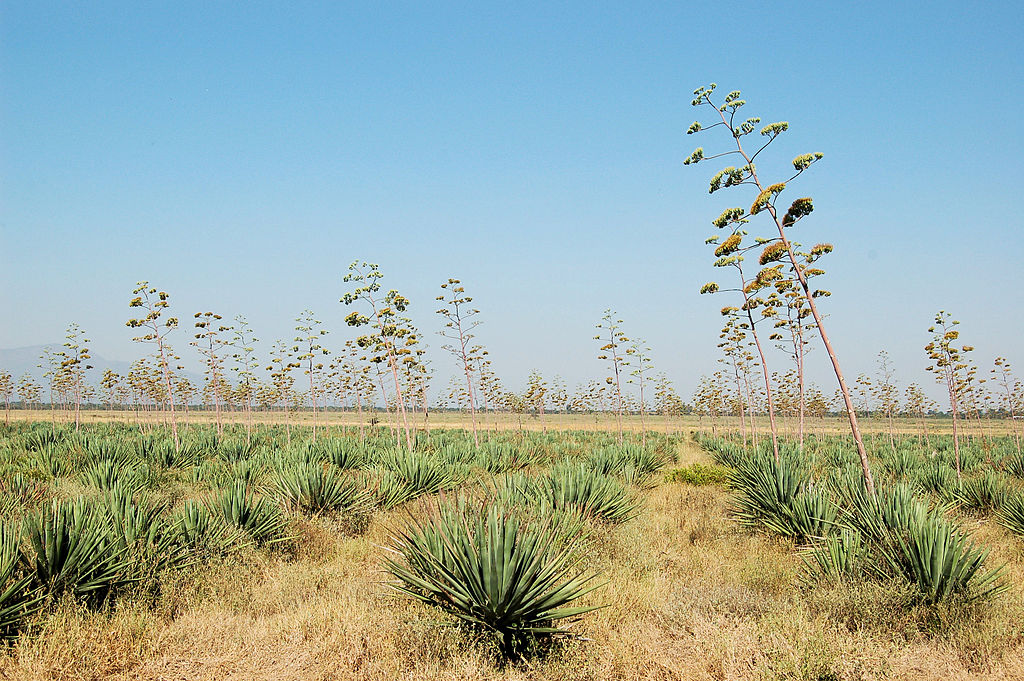 Image: Sisal fields on sunny day