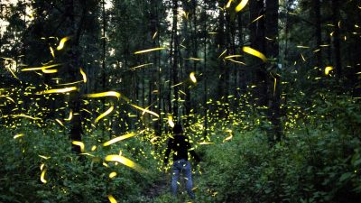 Image: People standing away from us on a forest trail surrounded by the lights from fireflies.