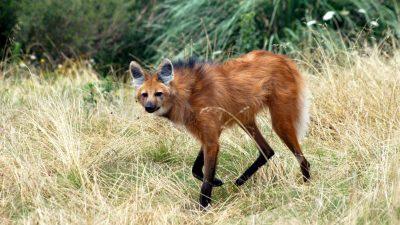 Image: Maned wolf walking through grass