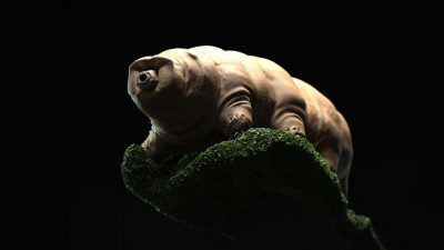Image: Tardigrade against black background
