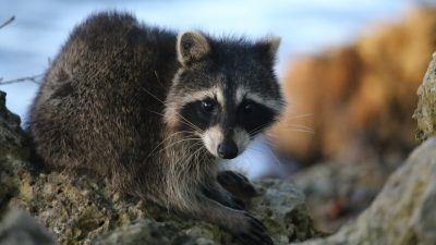Image: A raccoon kit in a tree