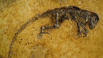 Image: Darwinius Masillae fossil from Messel Germany Fossil Deposit