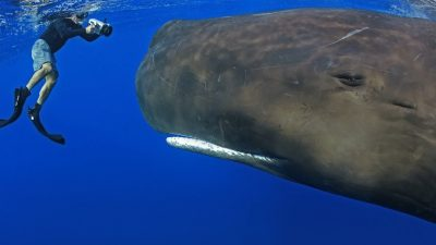 Image: A diver close in front of a sperm whale