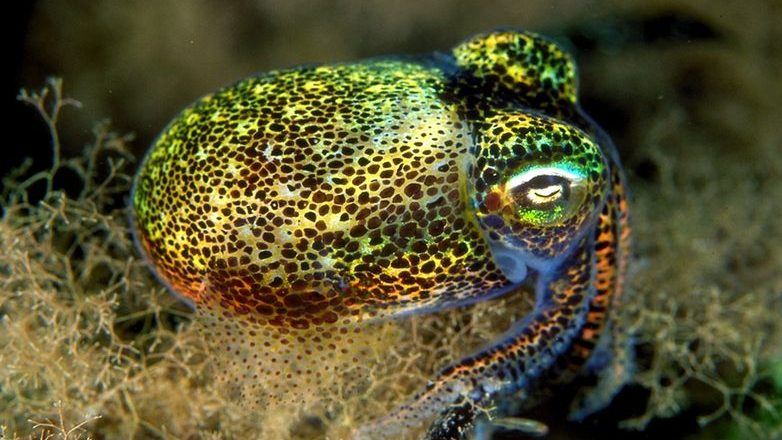 Image: Euprymna tasmanic, also known as the bobtail squid found off the coast of Australia