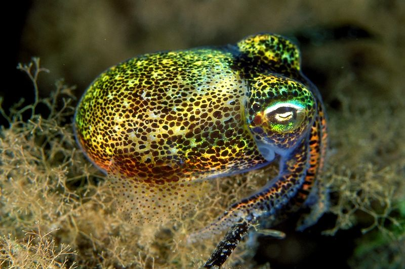 Image: Euprymna tasmanica—bobtail squid found off the coast of Australia