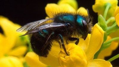 Image: Blue Orchard Mason Bee on flower