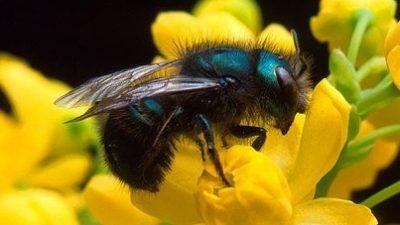 Image: Blue Orchard Mason Bee on flower