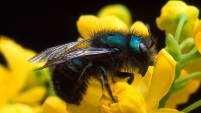 Image: A beautiful, shimmering blue-green bee.