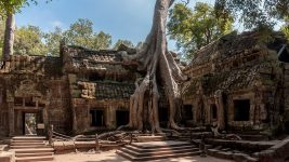 Image: An ancient temple is wrapped in the huge tendrils and folds of ancient tree roots