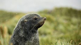 Image: Fur Seal Pup on a hillside