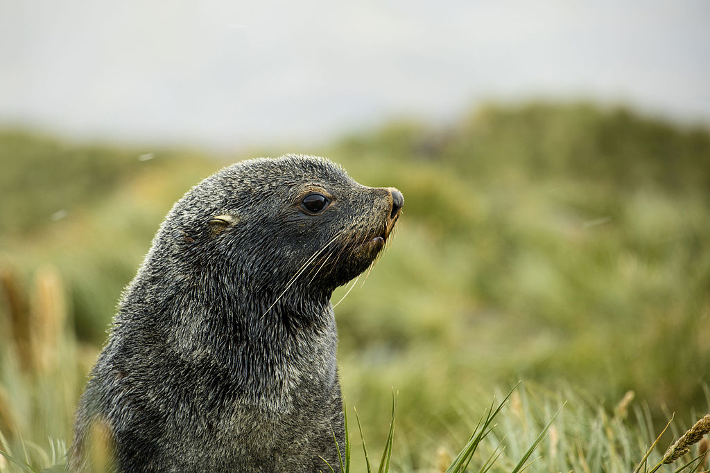 Image: South Georgia fur seal pup on a hill