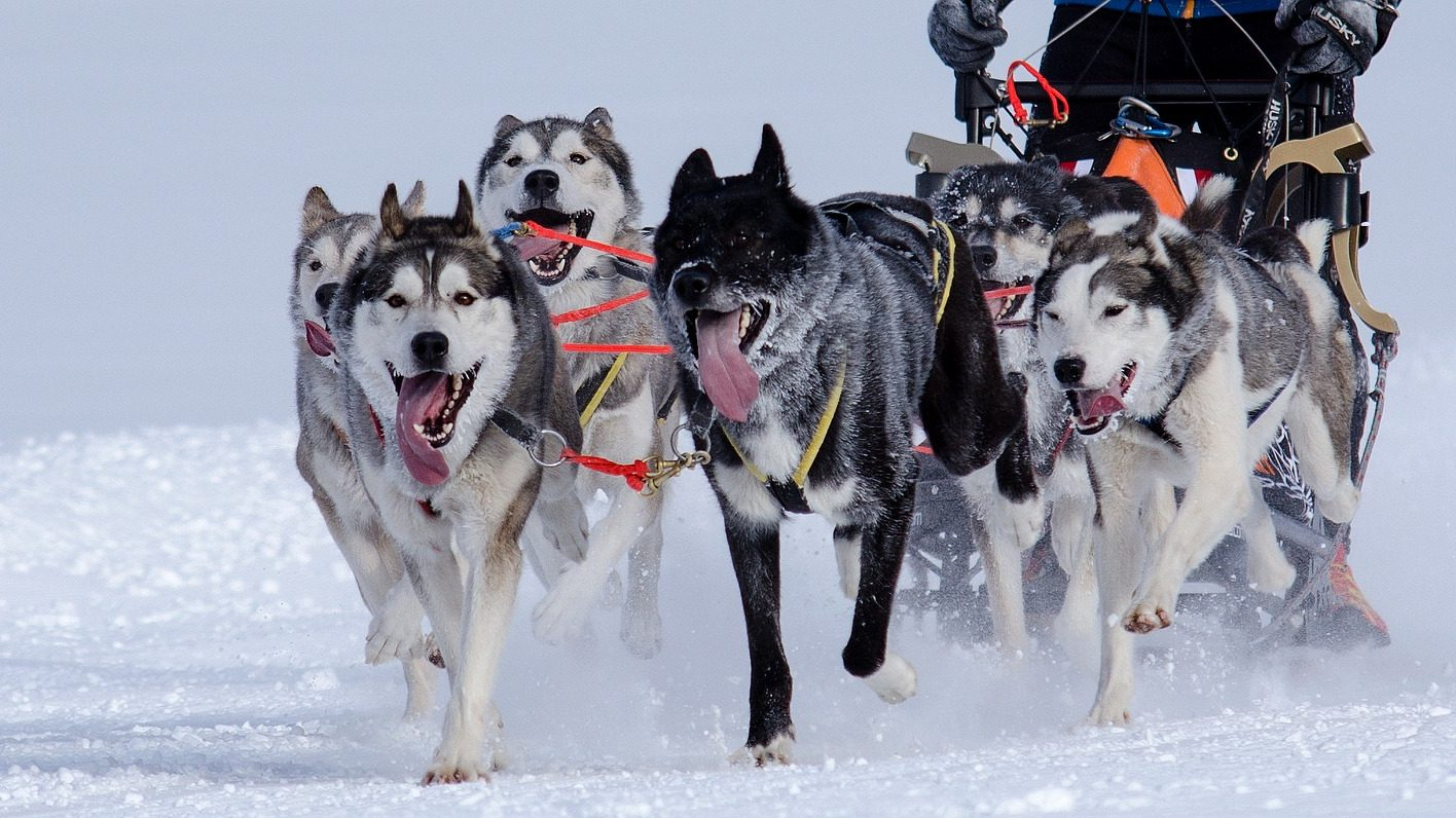 Image: sled dog team pulling a sled