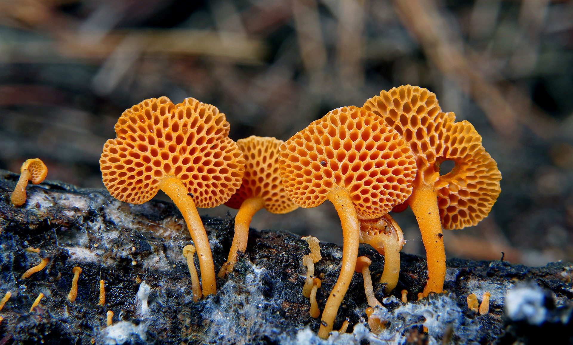 Image: Stand of Orange Pore Fungi