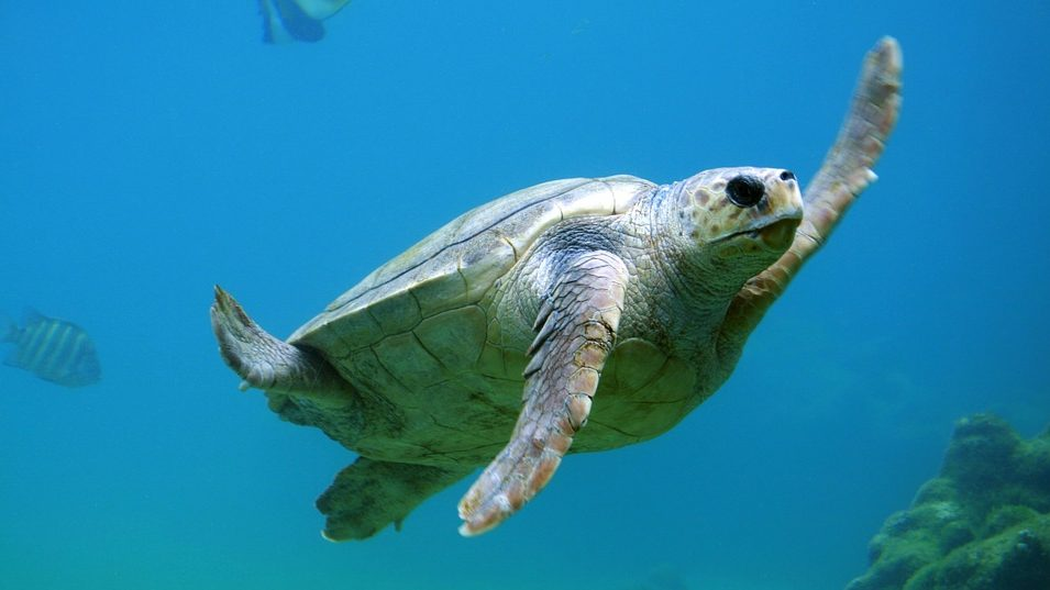 Image: sea turtle swimming