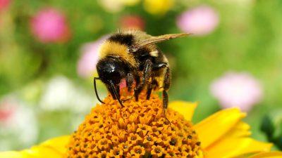 Image: Bumblebee on yellow flower