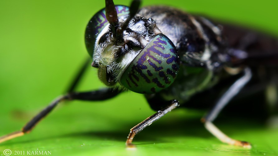 Image: Close up photo of the face of a Black Soldier Fly with its tiger striped compound eyes