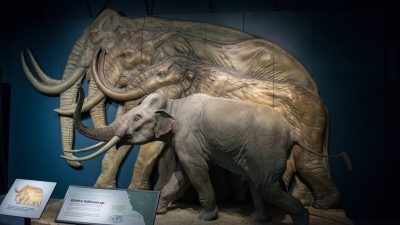 Image: Pygmy mammoth comparison to other mammoth species