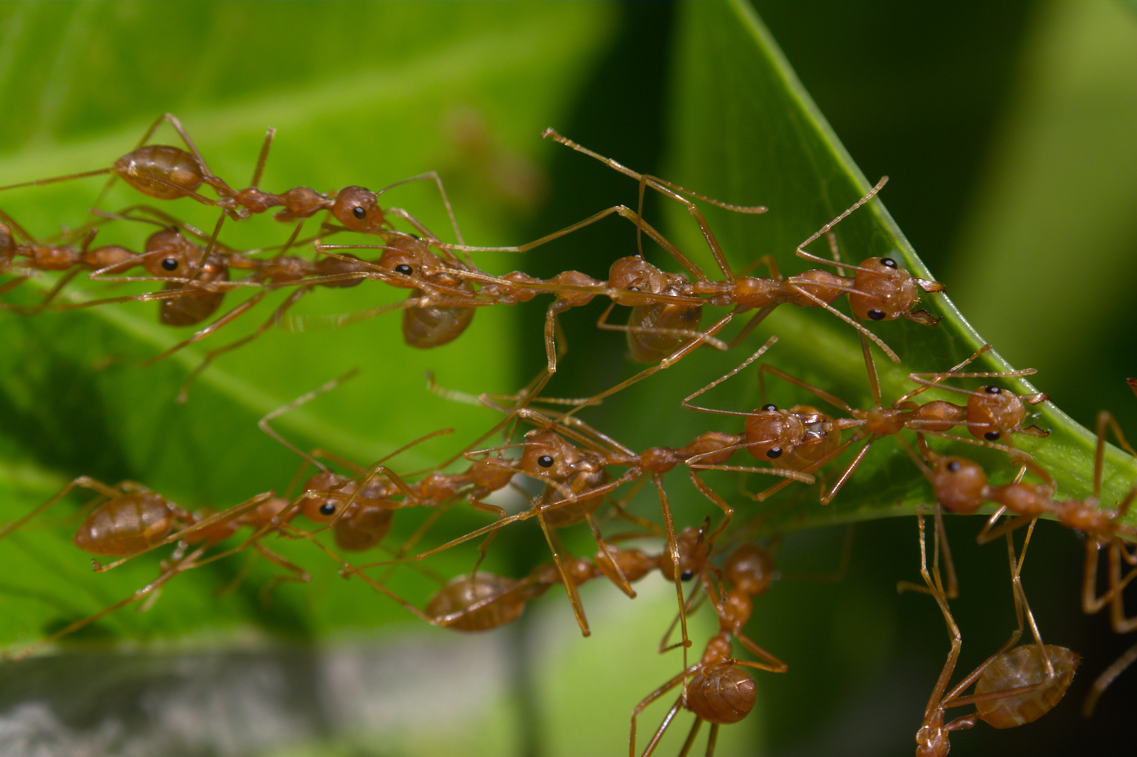 Image: a chain of weaver ants bridges two leaves