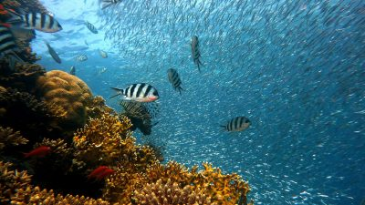 Image: a large school of silver fish swimming around a coral reef