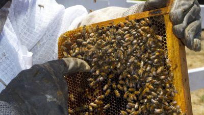 Image: Beekeeper pointing to bees