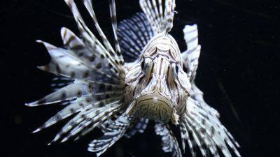 Image: Lionfish staring at the camera with their spines billowing out the side