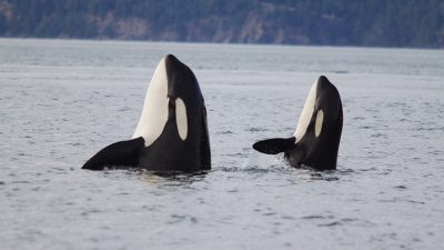 Image: Two whales spy hop to see the world around them above the water