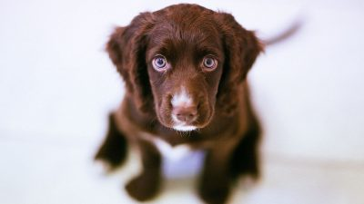 Image: Cute, sad eyed brown puppy