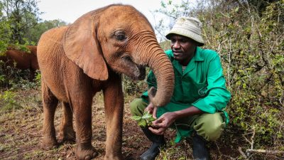Image: Sheldrick Wildlife Trust keeper with an orphaned elephant