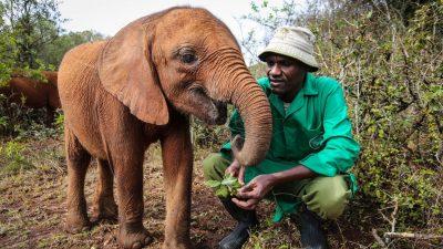 Image: Sheldrick Wildlife Trust keeper with an orphaned elephant