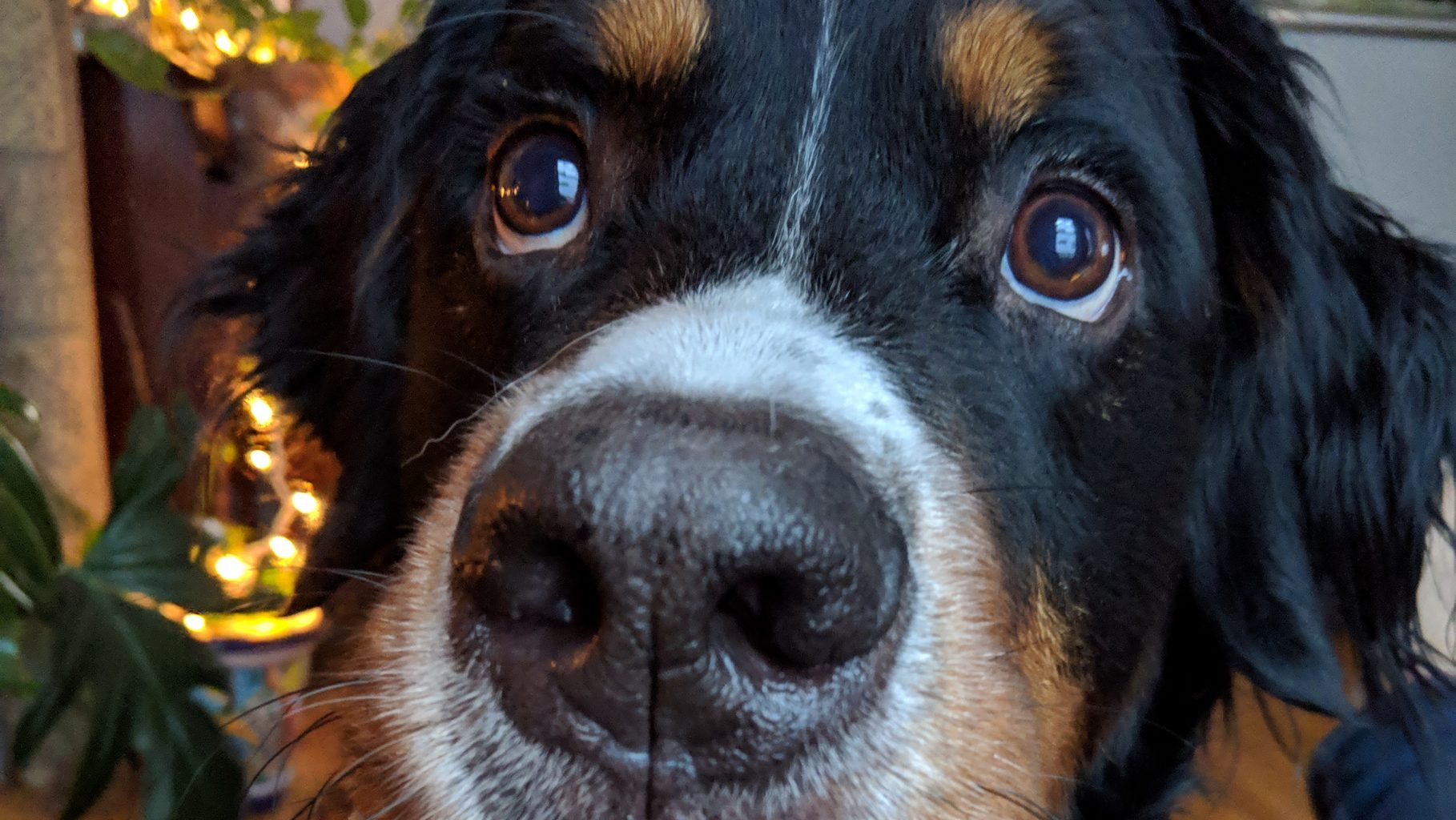 Image: Close up of a dog nose with eyes looking up