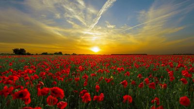 Image: Sunset illuminating a field of poppies