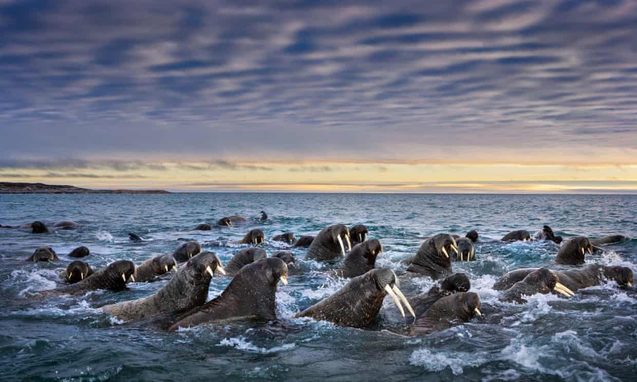 Image: Paul Nicklen's photo for Sea Legacy of a heard of walrus