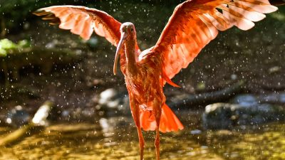 Image: flamingo with wings outstretched
