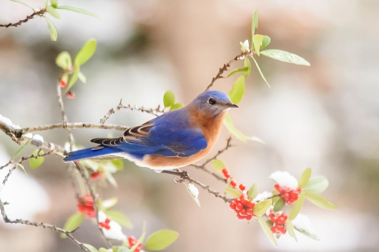 Image: bluebird sitting on a tree limb
