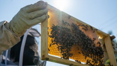 Image: Timothy Paule of Detroit Hives Inspecting a honeycomb