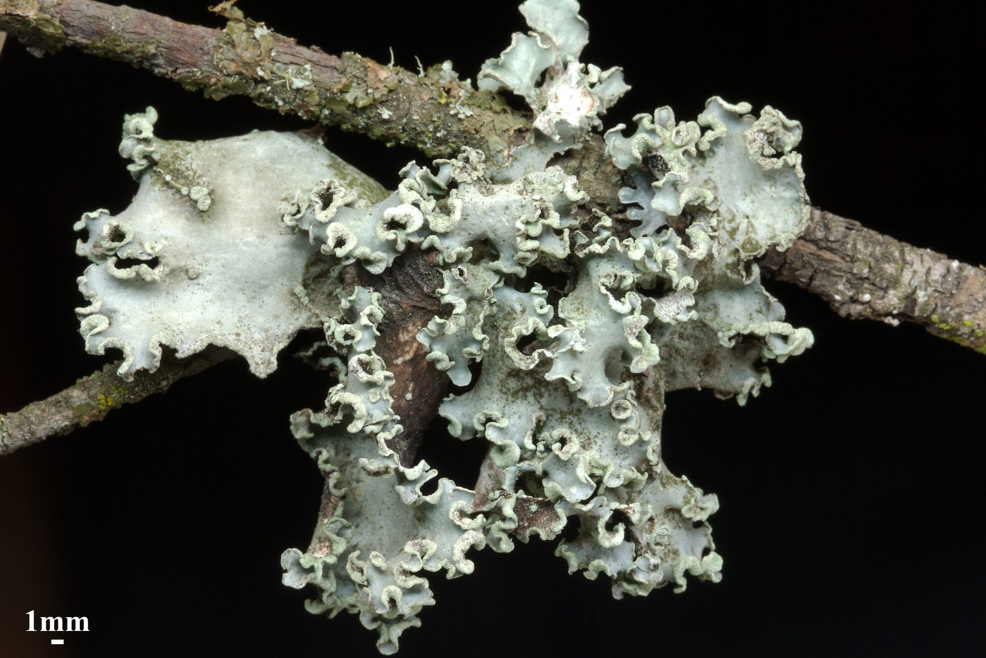 Image: ruffled edge green lichen on a twig