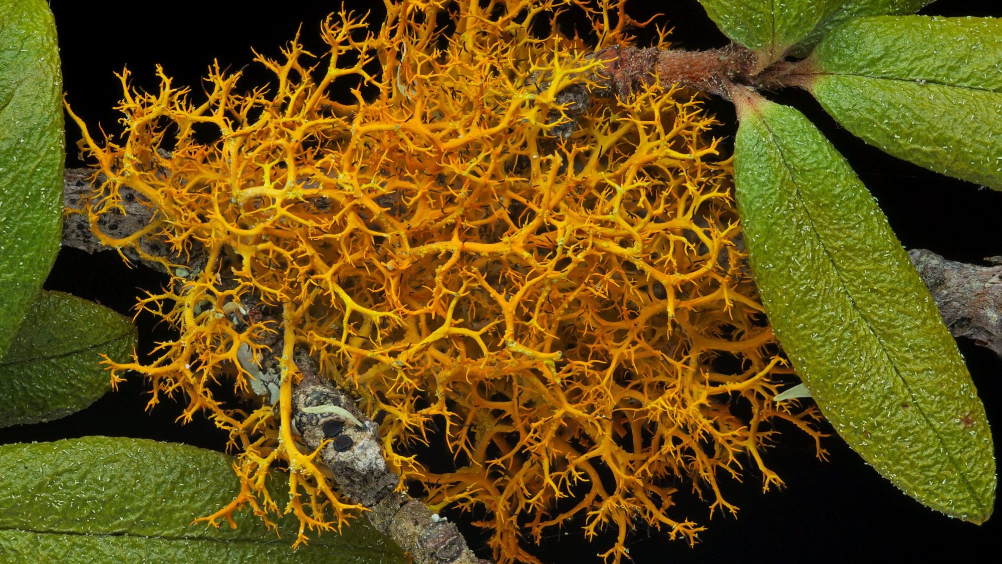 Image: orange spindly lichen growing on a branch with leaves