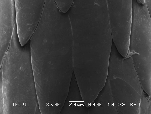 Image: Extreme magnification of a North American porcupine quill