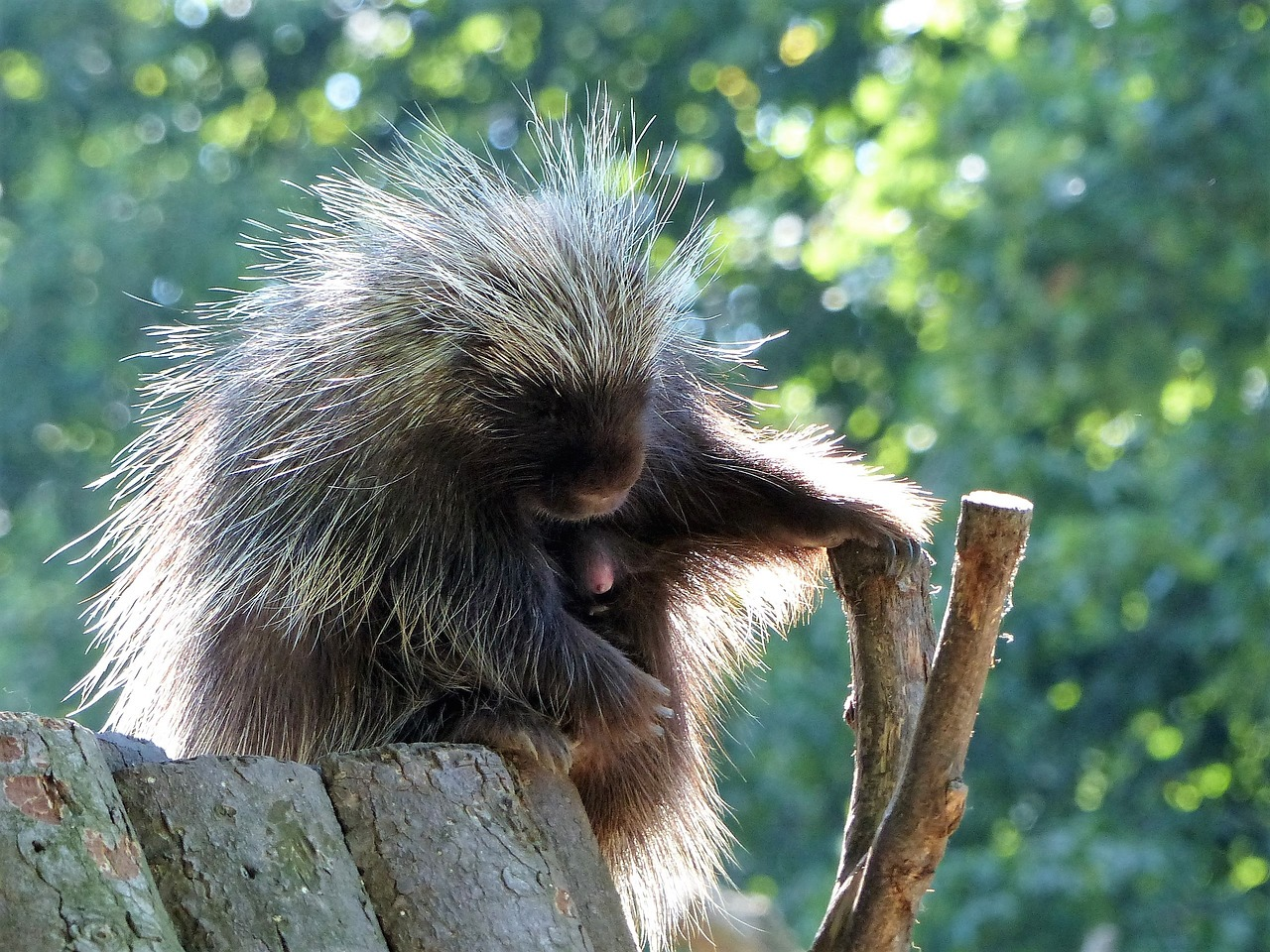 Image: Porcupine sitting on a log
