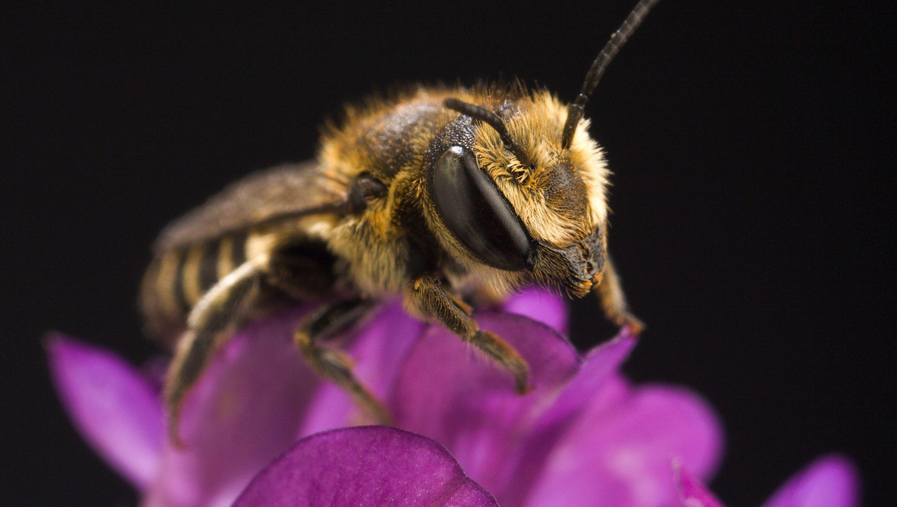 Image: Alfalfa Leafcutter Bee sitting on an alfalfa flower