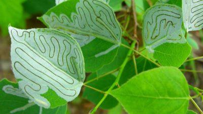 Image: leaf miner trails through aspen leaves