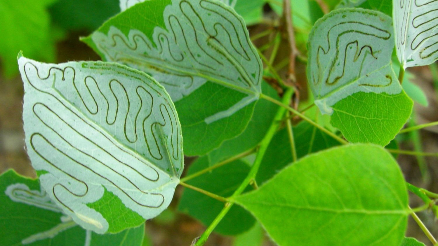 Image: leaf miner trails through aspen leaves
