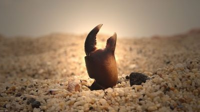 Image: Crab claw sticking up out of the sand