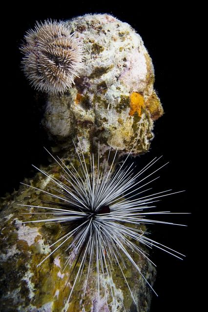 Image: Underwater sculpture, side profile, with urchins living on it.