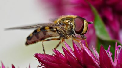 Image: fly that mimics bees sitting on a red flower