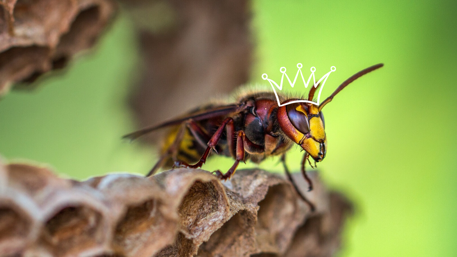 Image: hornet wearing a crown