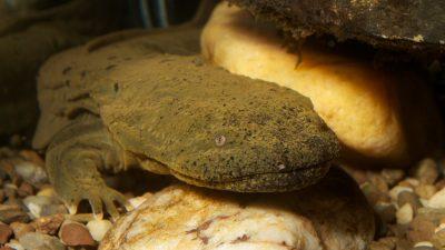 Image: Hellbender salamander underwater