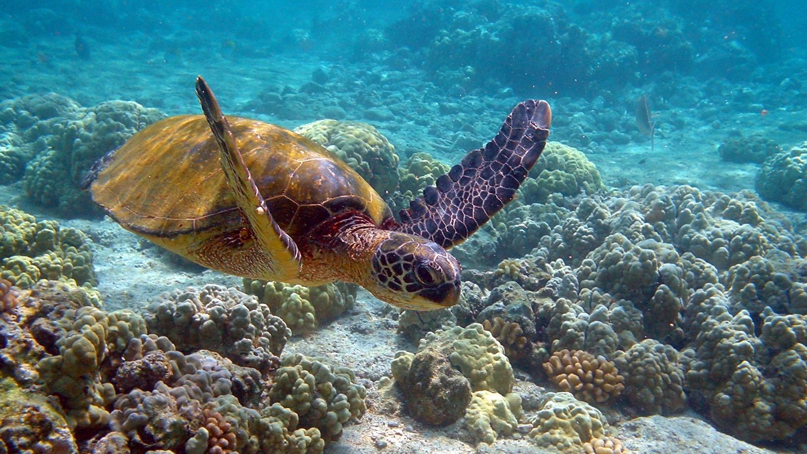 Image: Green sea turtle swimming