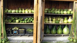 Image: Varieties of gourd shapes onn their drying shelves!